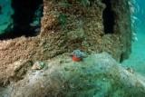 Small Horse Conch