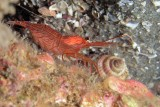 Peppermint Shrimp (Lysmata ankeri)