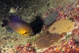 Cocoa Damselfish with two nests and alga farm