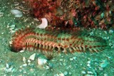 Red-tipped Fireworm