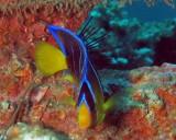 Blue Angelfish