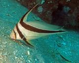 Jackknifefish