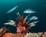 Lionfish and Amberjacks