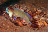 Moustach Jawfish - ready for a fight