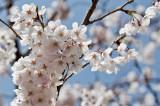 S Korea Cherry Blossom   2013 Mar