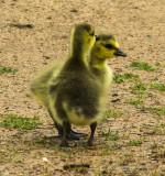 Water Birds/Fowl