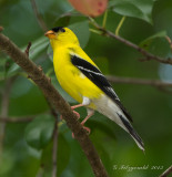 Just Goldfinches