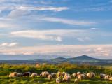 Sheep on Çabrat Hill
