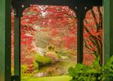 Japanese Maple, Mount Usher Gardens