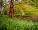 Dawn Redwood, Mount Usher Gardens