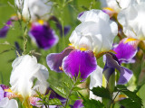 Ivory and Violet