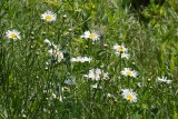 Day for Daisies