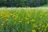 Prairie in July