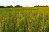 State of a Summer Prairie