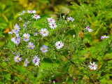 Asters After August
