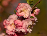 Flowering-Plum-May-2013.jpg