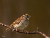 Sparrow-White-Throated.jpg