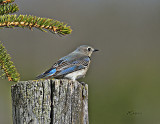 copy-Female-Bluebird.jpg