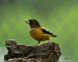 2015-Male-Evening-Grosbeak.jpg