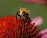 Bee-on-Echinacea.jpg