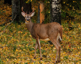 White-Tailed-Buck.jpg