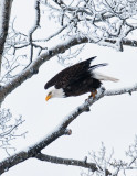 Bald-Eagle-Dec-2015.jpg