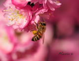 Bee--on-Flowering-Plum.jpg