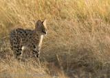 Hunting serval  _H1H7653.jpg