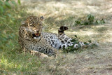 Olive, a not-happy leopard.   _H1H7684.jpg
