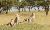 Cheetahs on the lawn.  _H1H7906.jpg