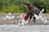 2013_alaska_bears