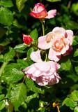 Damask rose Botzaris gaggle