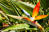 bird of paradise 20