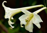 Lily Formosanum Navona 17