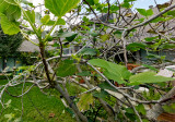 fig tree second growth