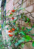 pyracantha front porch