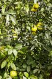 Meyer lemon harvest time