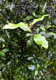 flowering shrub berries