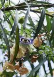 Passiflora caerulea on oleander