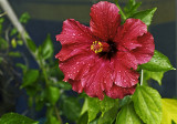 hibiscus Heartbeat Red Ruffles after rains