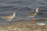 Common and Spotted Redshank