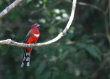 Red-headed Trogon, male