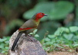Red-faced Liochicla