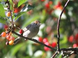 Blackcap, female
