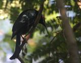 Wallacean Drongo (Papuan)