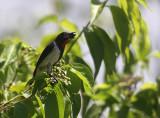 Black-fronted Flowerpecker