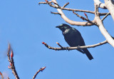 Short-tailed Starling