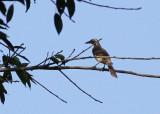Timor Friarbird