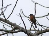 Timor Blue Flycatcher