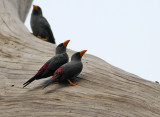 Grosbeak Starlings